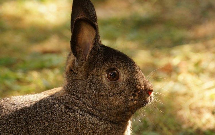 grass, muzzle, look, ears, rabbit, hare