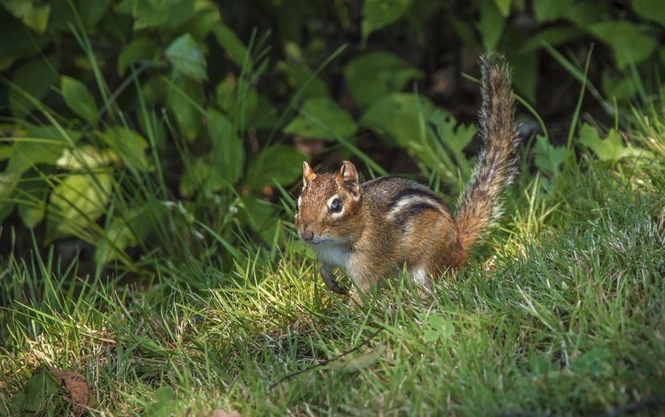 трава, зверек, хвост, бурундук, грызун, grass, animal, tail, chipmunk, rodent