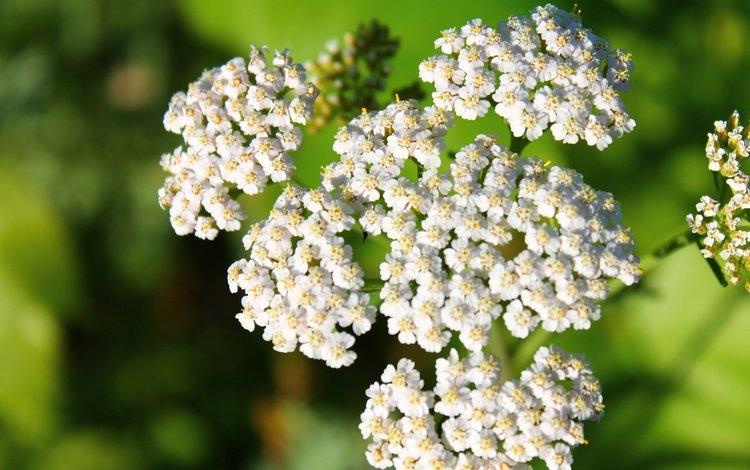 flowers, white, inflorescence, bokeh, yarrow