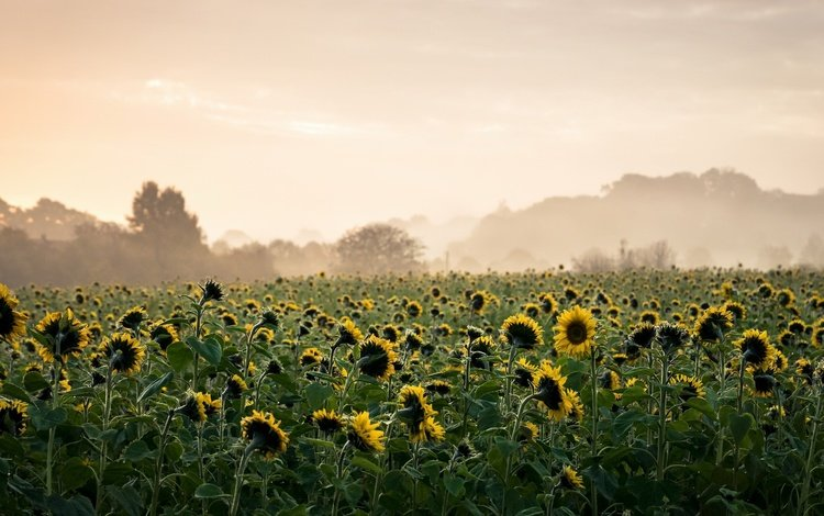 morning, fog, sunflowers, yellow flowers