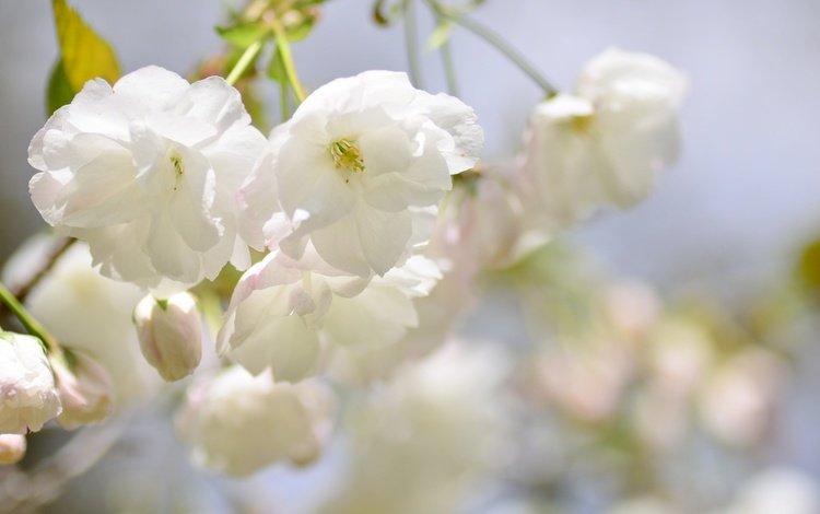 ветка, цветение, размытость, весна, сакура, branch, flowering, blur, spring, sakura