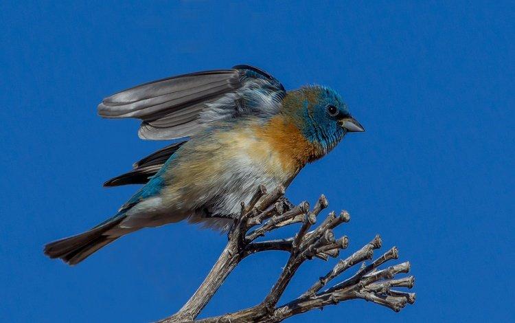 branch, wings, bird, tail, cardinal, azure sancopy cardinal, sancopy cardinal