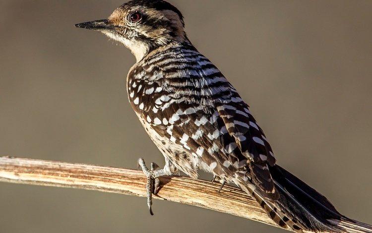 branch, bird, beak, feathers, tail, woodpecker, texas woodpecker