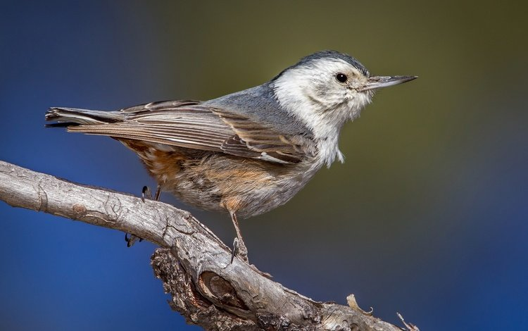 branch, bird, beak, nuthatch, the carolina nuthatch
