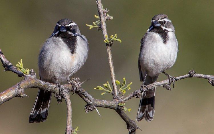 branch, birds, bird, pair, oatmeal, desert oatmeal