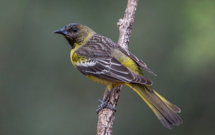 branch, bird, female, palm colored troupial