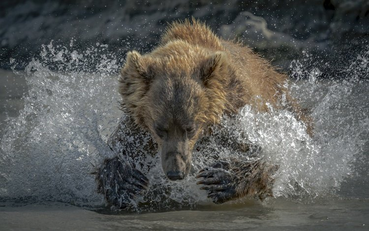 морда, вода, лапы, медведь, брызги, face, water, paws, bear, squirt