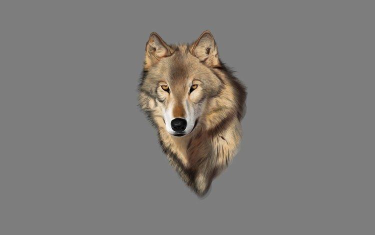 фон, взгляд, хищник, волк, голова, background, look, predator, wolf, head