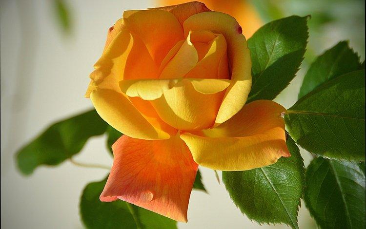 leaves, flower, rose, petals, yellow rose
