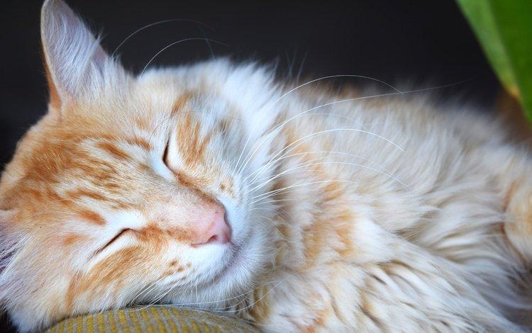 животные, кот, мордочка, усы, кошка, сон, рыжий, animals, cat, muzzle, mustache, sleep, red