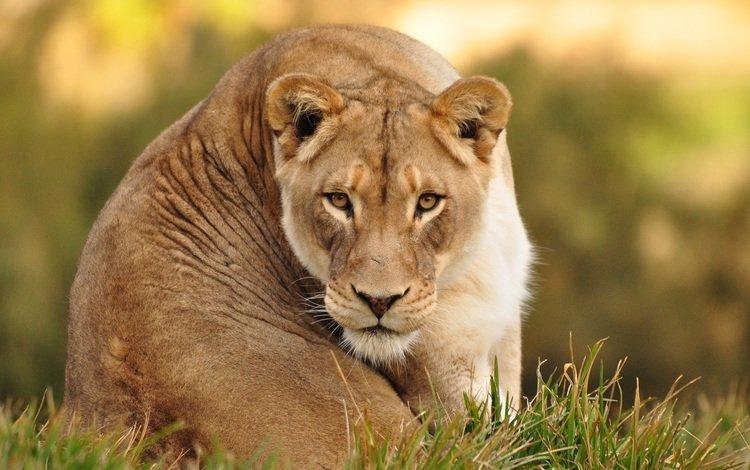 взгляд, отдых, животное, львы, львица, look, stay, animal, lions, lioness