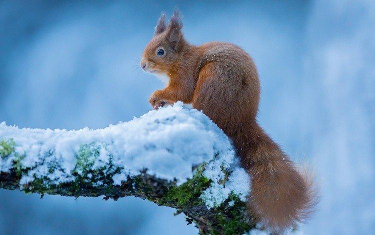 зима, белка, белочка, winter, protein, squirrel