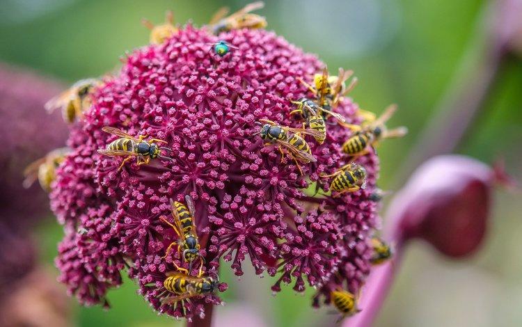 цветы, насекомые, оса, декоративный лук, осы, flowers, insects, osa, decorative bow, wasps