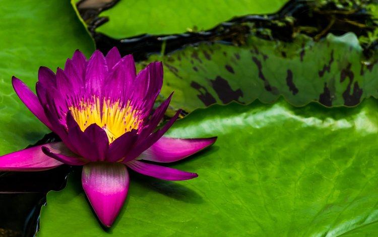листья, цветок, лепестки, пруд, кувшинка, нимфея, водяная лилия, leaves, flower, petals, pond, lily, nymphaeum, water lily