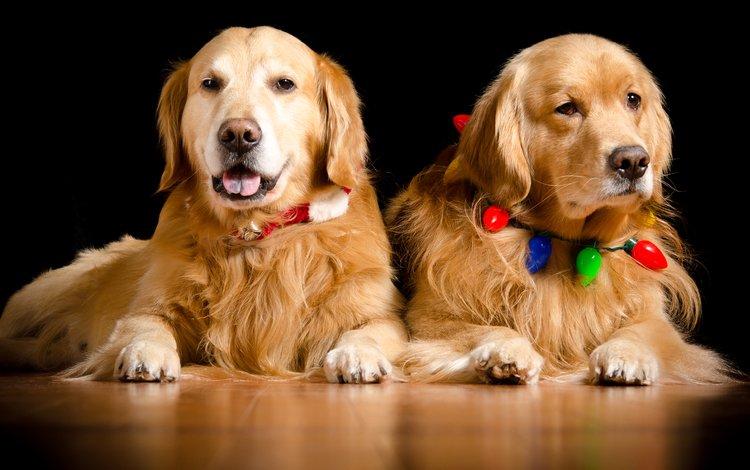 взгляд, пара, ошейник, гирлянда, собаки, золотистый ретривер, голден ретривер, kathleen m. fischer, look, pair, collar, garland, dogs, golden retriever