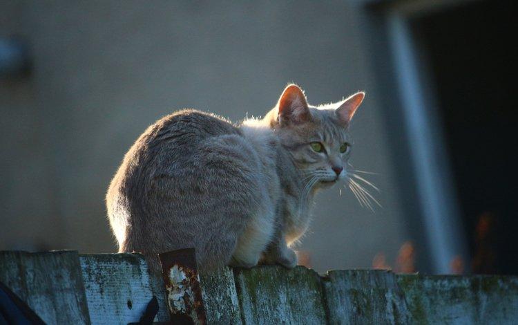 кот, мордочка, усы, кошка, взгляд, забор, cat, muzzle, mustache, look, the fence