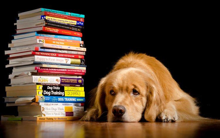 морда, взгляд, книги, собака, черный фон, золотистый ретривер, голден ретривер, kathleen m. fischer, face, look, books, dog, black background, golden retriever