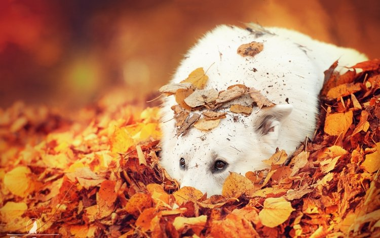 глаза, листья, взгляд, осень, собака, белая швейцарская овчарка, eyes, leaves, look, autumn, dog, the white swiss shepherd dog