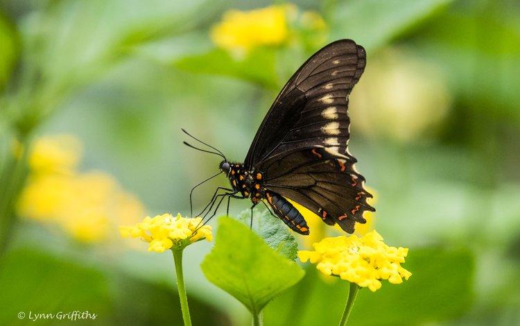 цветы, листья, насекомое, бабочка, крылья, размытость, lynn griffiths, flowers, leaves, insect, butterfly, wings, blur
