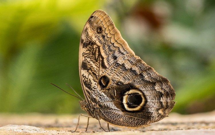 насекомое, бабочка, крылья, калиго, бабочка-сова, lynn griffiths, insect, butterfly, wings, kaligo, the owl
