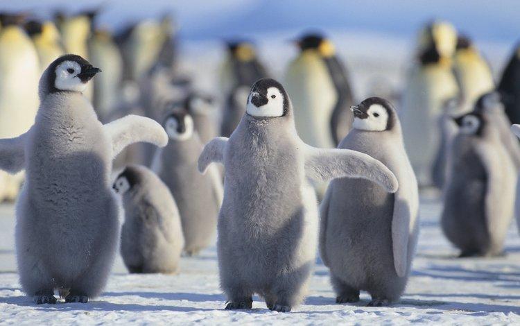 birds, penguins, chicks, arctic
