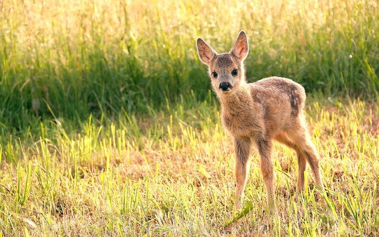 grass, deer, muzzle, look, cub, fawn