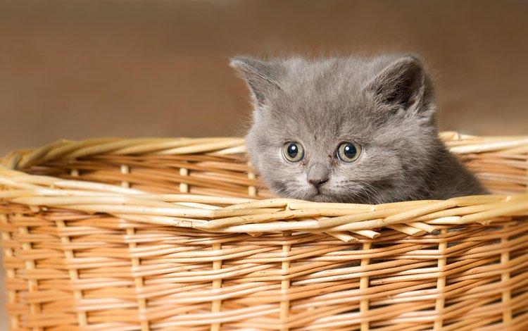 кот, мордочка, усы, кошка, взгляд, котенок, корзина, cat, muzzle, mustache, look, kitty, basket