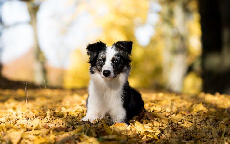 листья, мордочка, взгляд, осень, австралийская овчарка, leaves, muzzle, look, autumn, australian shepherd