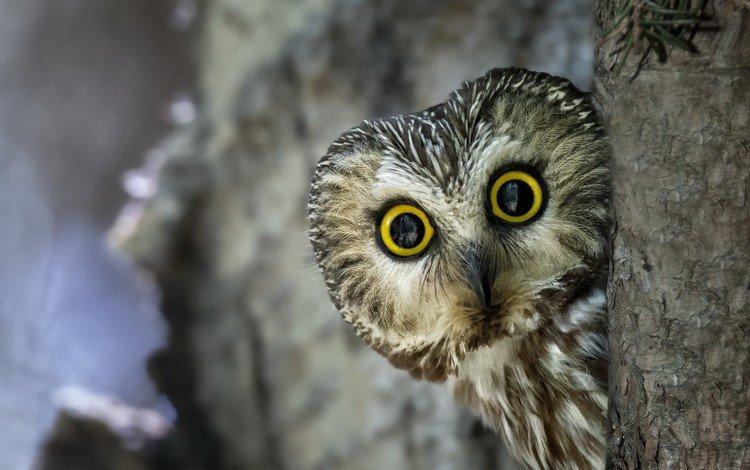 eyes, owl, look, bird, beak, feathers
