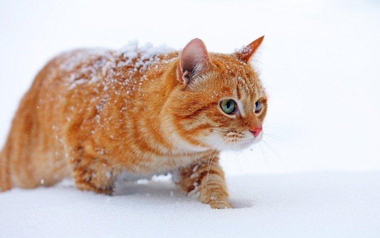 снег, зима, кот, мордочка, усы, кошка, взгляд, рыжий, snow, winter, cat, muzzle, mustache, look, red
