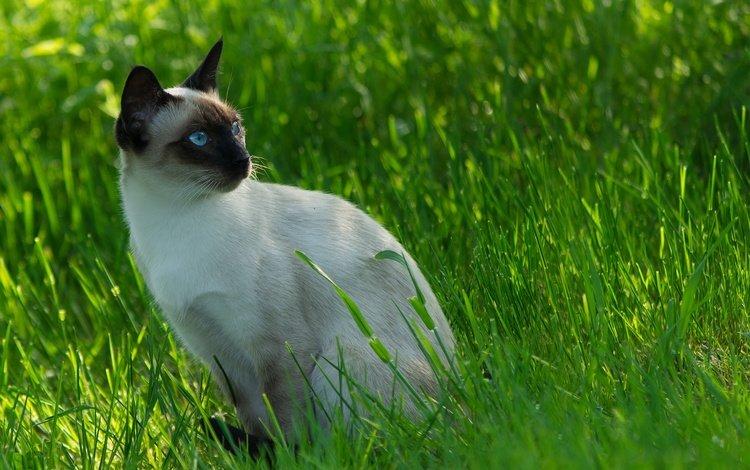 трава, кот, мордочка, усы, кошка, взгляд, сиамский, grass, cat, muzzle, mustache, look, siamese