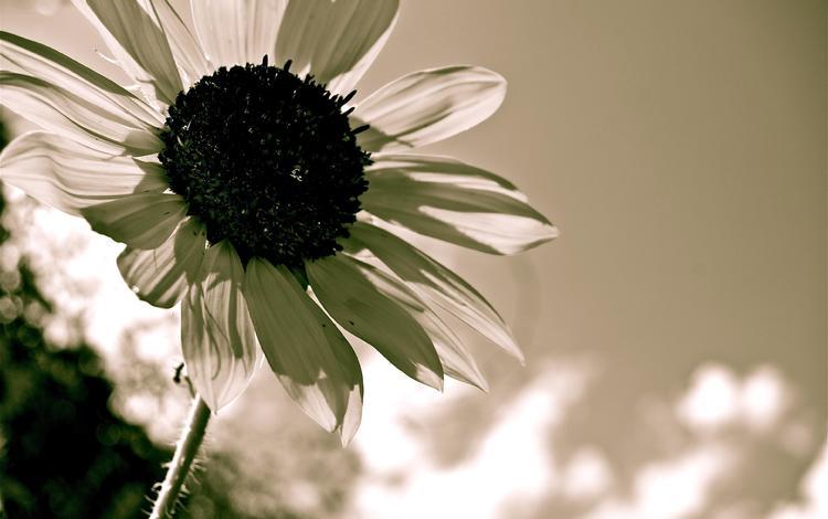 цветок, лепестки, чёрно-белое, подсолнух, flower, petals, black and white, sunflower