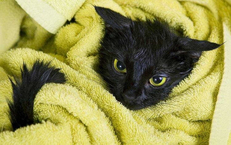 кот, мордочка, усы, кошка, взгляд, черный, полотенце, мокрый, cat, muzzle, mustache, look, black, towel, wet