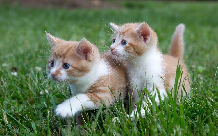трава, усы, взгляд, кошки, котята, мордочки, grass, mustache, look, cats, kittens, faces