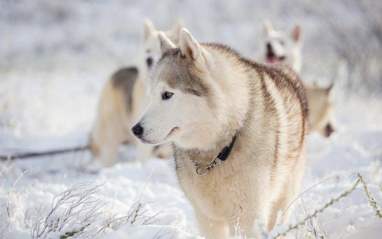 снег, зима, мордочка, взгляд, хаски, собаки, snow, winter, muzzle, look, husky, dogs