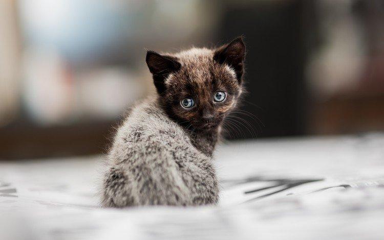 кот, мордочка, усы, кошка, взгляд, котенок, cat, muzzle, mustache, look, kitty