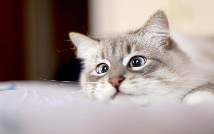 глаза, кот, мордочка, усы, кошка, взгляд, eyes, cat, muzzle, mustache, look