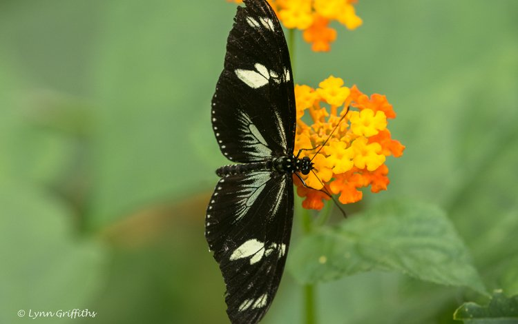 flowers, insect, butterfly, wings, blur, lynn griffiths
