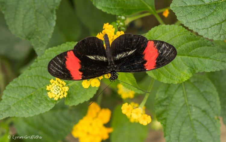 цветы, листья, насекомое, бабочка, крылья, lynn griffiths, flowers, leaves, insect, butterfly, wings