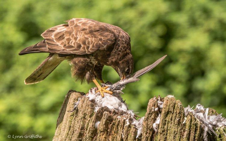 птица, клюв, перья, пень, добыча, канюк, lynn griffiths, хищная птица, bird, beak, feathers, stump, mining, buzzard, bird of prey