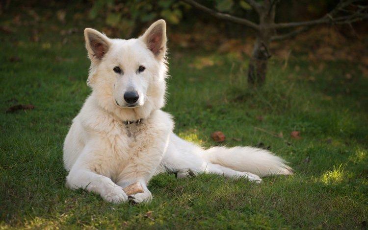 трава, взгляд, собака, овчарка, белая швейцарская овчарка, grass, look, dog, shepherd, the white swiss shepherd dog
