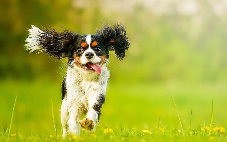 flowers, muzzle, look, dog, puppy, dandelions, language, spaniel, cavalier-king-charles-spaniel