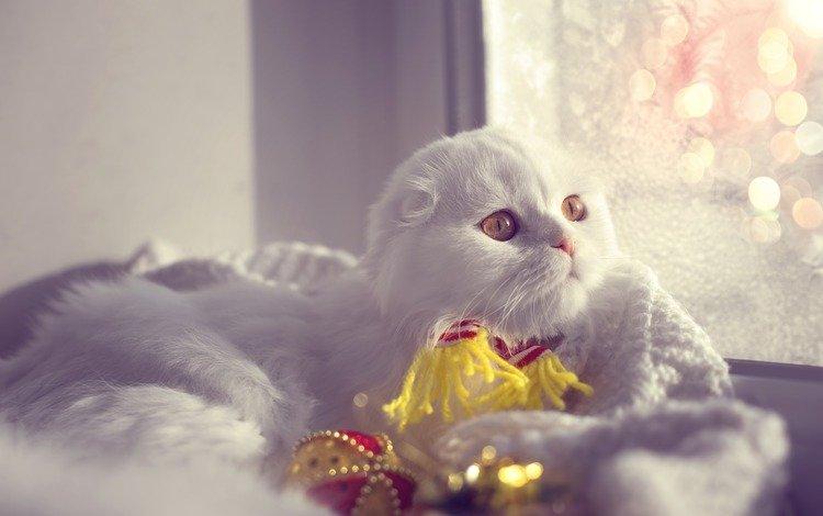 кот, мордочка, усы, кошка, взгляд, вислоухая, шотландская вислоухая, cat, muzzle, mustache, look, fold, scottish fold