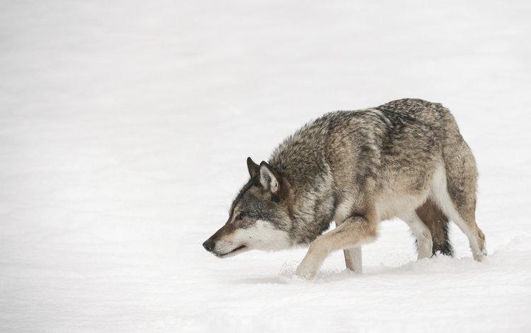 зима, хищник, волк, andy astbury, winter, predator, wolf