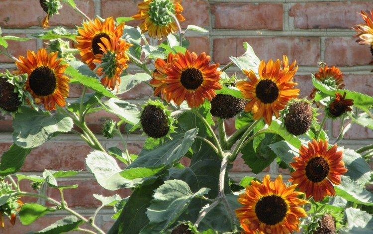 цветы, стена, подсолнухи, flowers, wall, sunflowers