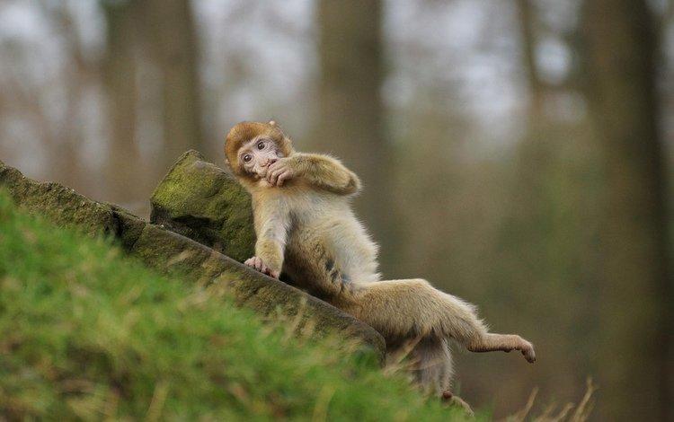 мордочка, взгляд, обезьяна, мартышка, muzzle, look, monkey