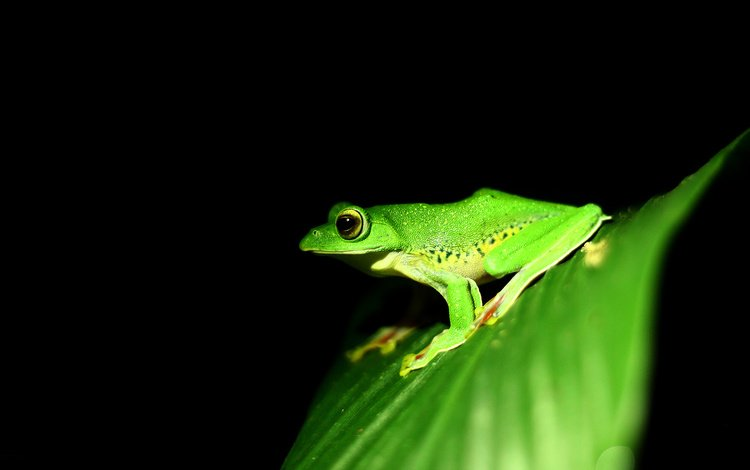 sheet, frog, black background