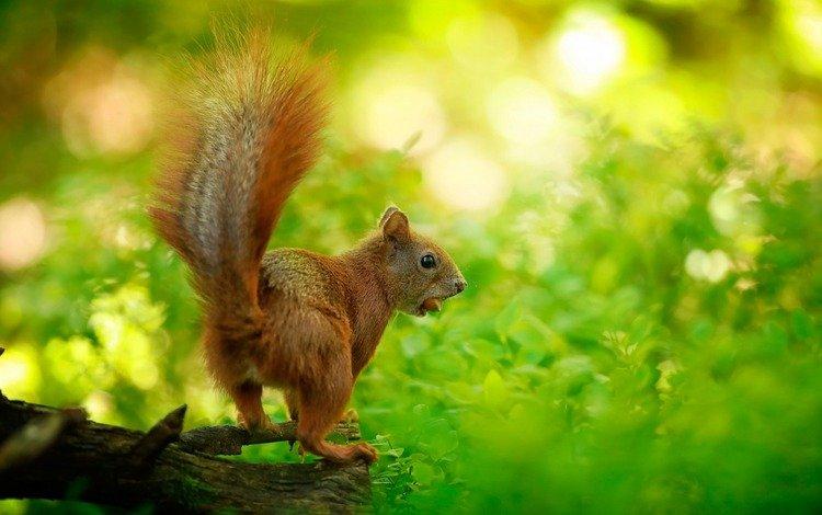 природа, листья, белка, зверек, белочка, грызун, nature, leaves, protein, animal, squirrel, rodent