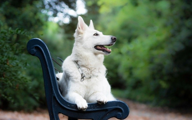 мордочка, взгляд, собака, скамейка, белая швейцарская овчарка, muzzle, look, dog, bench, the white swiss shepherd dog