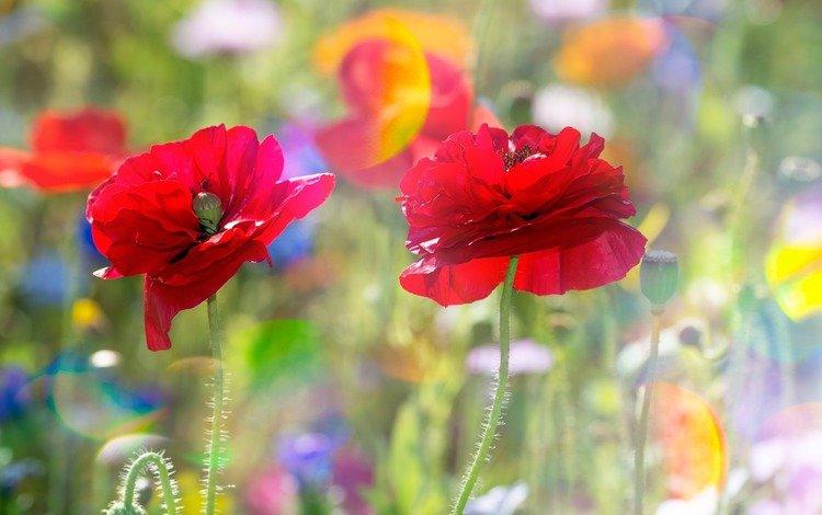 цветы, лето, лепестки, маки, flowers, summer, petals, maki